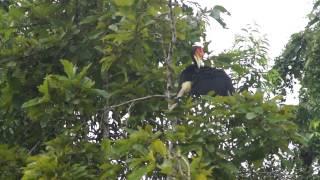 Птица-носорог чистит перья