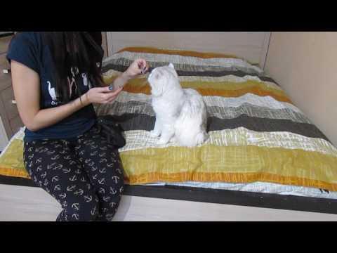Как дрессировать кошку для начинающих