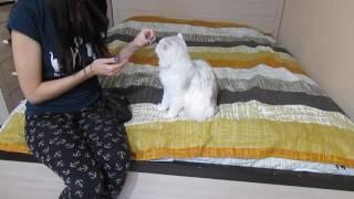 Как научить кота давать лапу? Дрессировка котов