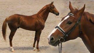 БУДЕННОВСКАЯ порода лошадей #ИППОсфера 2019 конная выставка /БУДЕНОВЕЦ спортивная лошадь