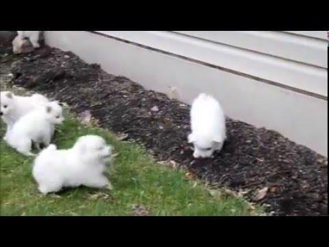 Miniature American Eskimo Puppies For Sale Youtube