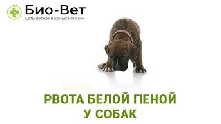 Рвота белой пеной у собак. Ветеринарная клиника Био-Вет.
