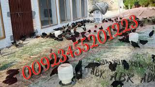 2 months old pure australorp chicks for sale in Pakistan