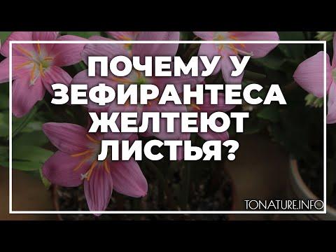 Почему у зефирантеса желтеют листья? | toNature.Info