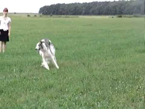 Collie and Borzoi, run...