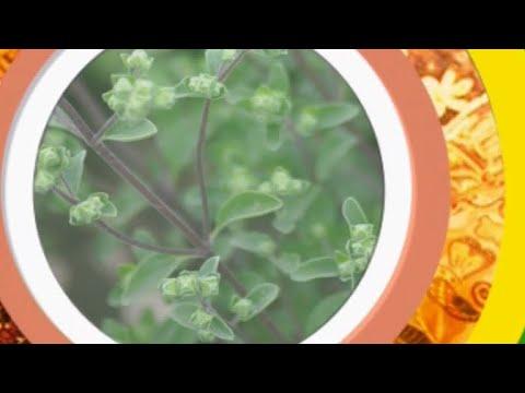 Майоран – полезные свойства и применение майорана