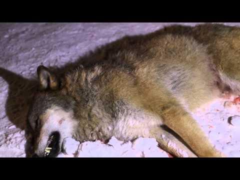 Ulven som har vandra i Sunnfjord i haust er skoten i Naustdal.