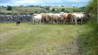 Pure-bred Collie Sheep And Cattle Dog For Sale