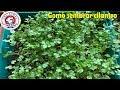 Como sembrar cilantro en tu hogar en maceta