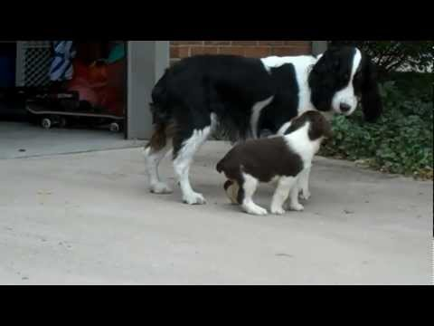 Springer Spaniel Puppy Lily - First Day Home