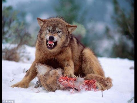 Wolf eating rabbit - photo#46