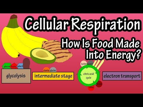 What Is Cellular Respiration - What Is Cellular Energy - Food Converted Into Energy - Glycolysis