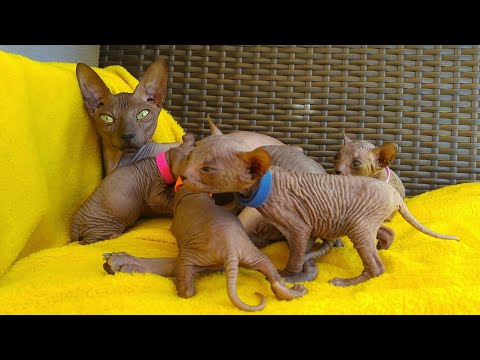 Proud sphynx cat mom & daddy - and their little cute kittens / DonSphynx /