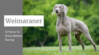 Weimaraner Dog Breed: 12 Facts To Know Before Buying
