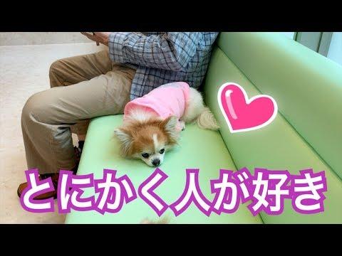 💖 初めて会った人なのに10秒で100%心を許すチワワ 【かわいい】【犬】【chihuahua】【dog】【love】