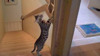 Ocicats exploring