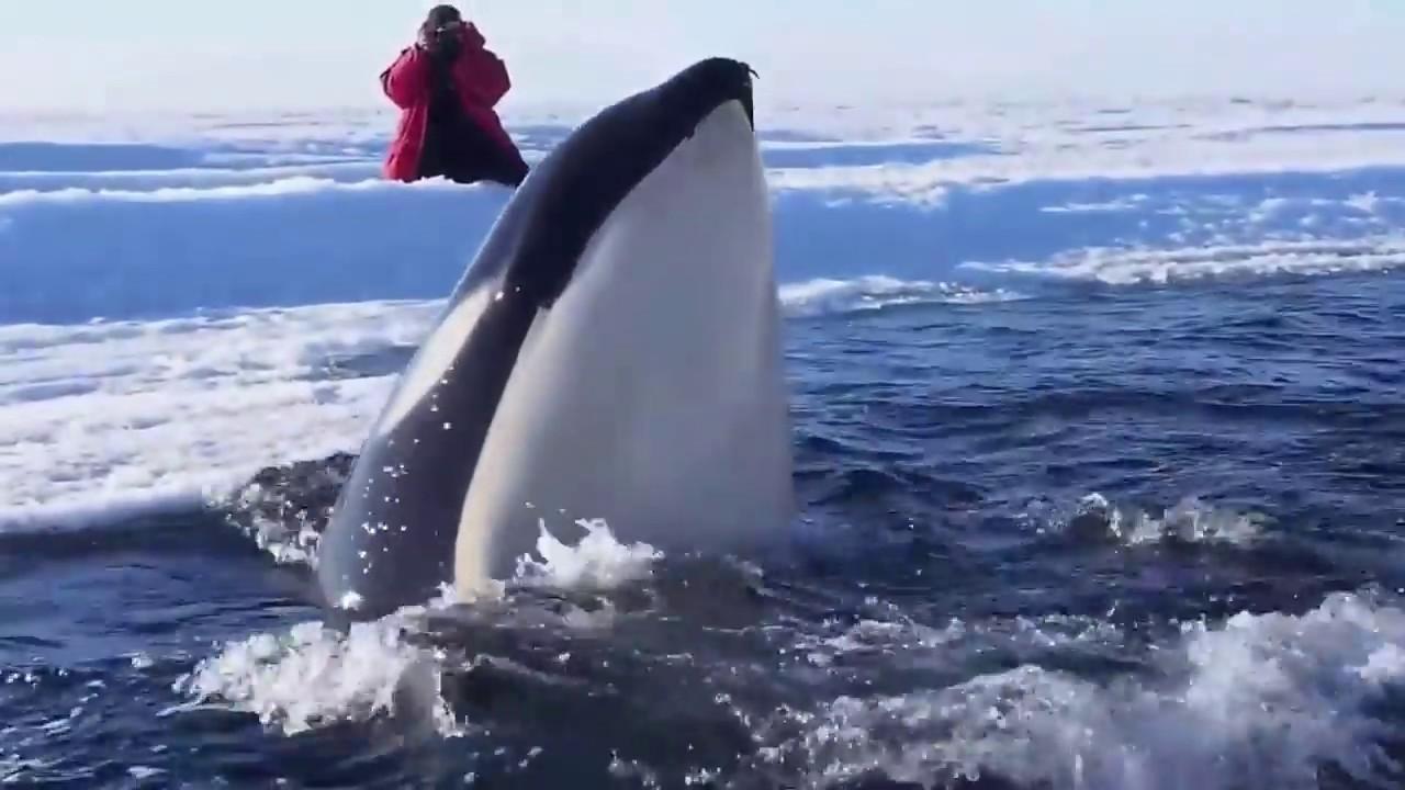 Antarctic Killer Whale