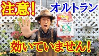 【知らなかった】殺虫剤オルトランの正しい使い方教えます   【園芸】【ガーデニング】【初心者】【アブラムシ】【害虫】【農薬】