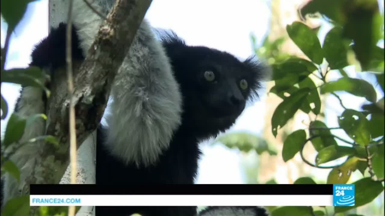 فرانس 24:Saving Madagascar's lemurs: could ecotourism be the solution?