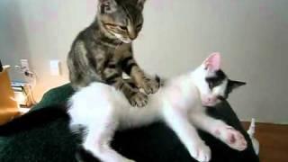 Котенок решил сделать массаж товарищу.flv