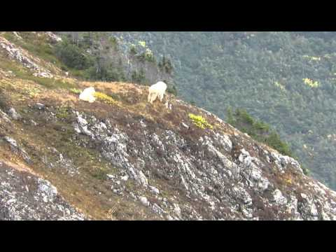 Mountain Goat Kill In British Columbia With Bullet Vapor Trail