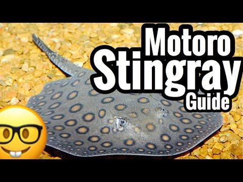 Motoro Stingray - Freshwater Aquarium Care Guide