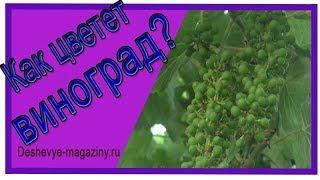 Как цветет виноград?  Виноград в цвету