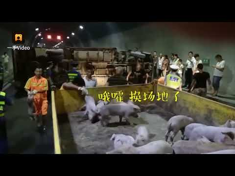 """Tunnel turned into a """"Piglet Adventure Farm"""" as 200 piglets fell off a truck that had rolled over"""