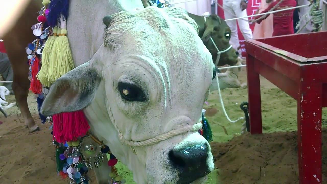 Cow Mandi Karachi Ki Sab Se Choti Cow 2017