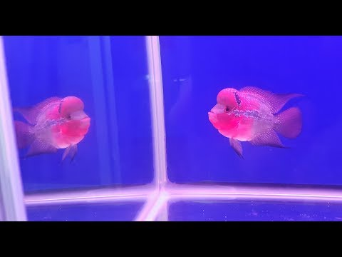 LIOW VIDEO: Bought a flowerhorn from THAT AQUARIUM 购买花罗汉鱼