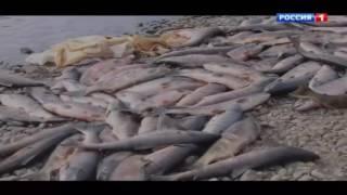 Сахалинские браконьеры. Красная икра (2015)(Каков масштаб хищений биоресурсов на Дальнем Востоке? Сколько лет еще будет существовать биотерроризм...., 2016-10-02T22:31:27.000Z)