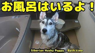 久しぶりにシベリアンハスキーのはっちゃんをお風呂に入れることにしま...