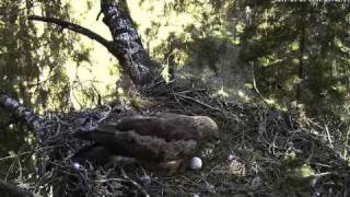 Lesser Spotted Eagle Couple Nesting In Latvia  - Remo And Tuuli - May 09, 2011
