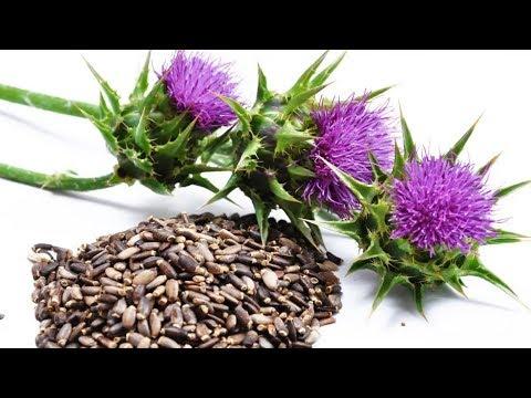 Расторопша - лечебные свойства и противопоказания