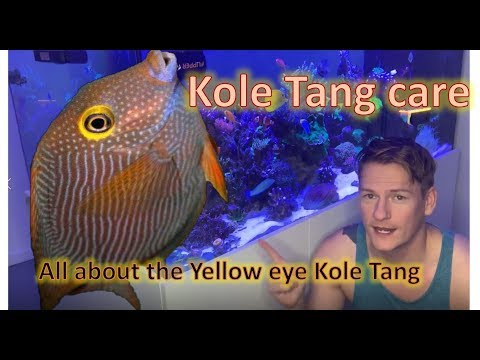 The Fish No Reef Tank Should Be Without (Kole Tang Care)