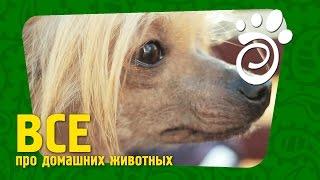 Китайские Хохлатые Собаки (Часть Первая). Все О Домашних Животных