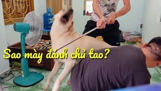 Phản ứng của chó Củ Cải khi chủ bị tấn công | dog tested to see whether They'd defend Owner