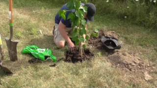 GUIDE TO PLANTING A TREE-  Start to Finish Demonstration