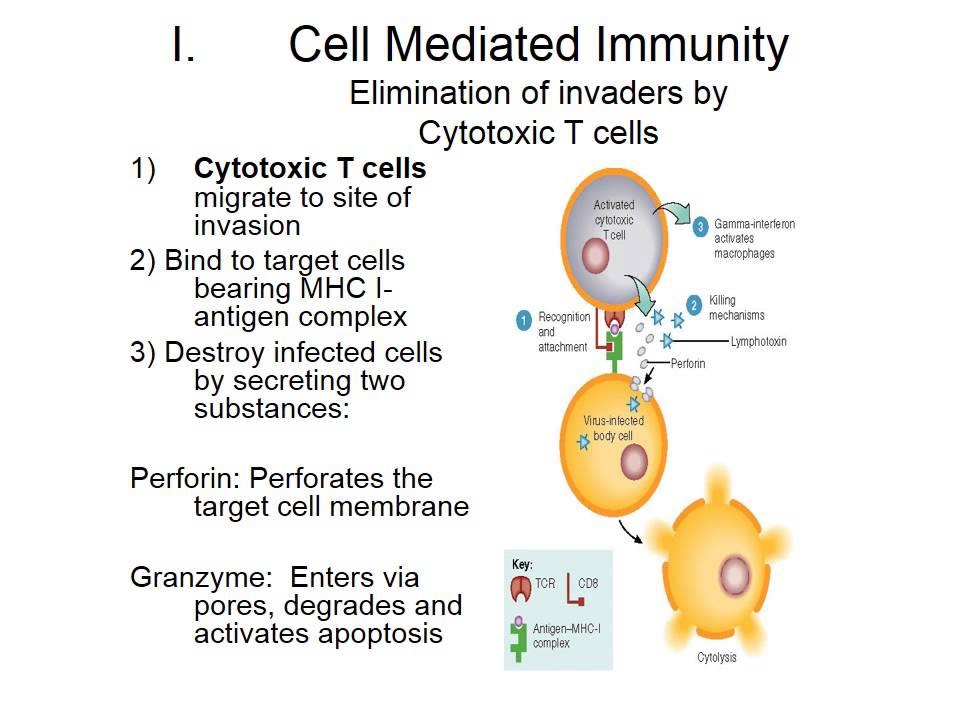 Cell Mediated Immunity Zoo 142 cell - mediated immunity review ...
