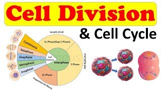 Cell biology || Cell Division || Cell Cycle || Amitosis, Mitosis (prophase) Class 11 biology