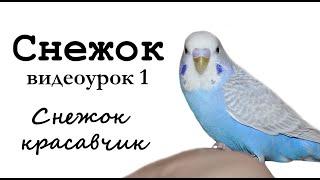 """🎤 Учим попугая по имени Снежок говорить, видеоурок 1: """"Снежок красавчик"""""""