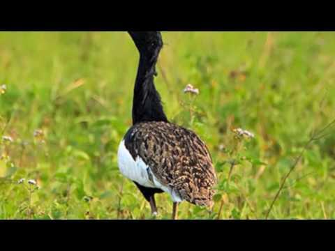 TOP 10 ENDANGERED BIRDS