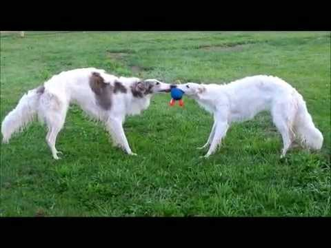 BORZOIS AT PLAY RUSSIAN WOLFHOUNDS