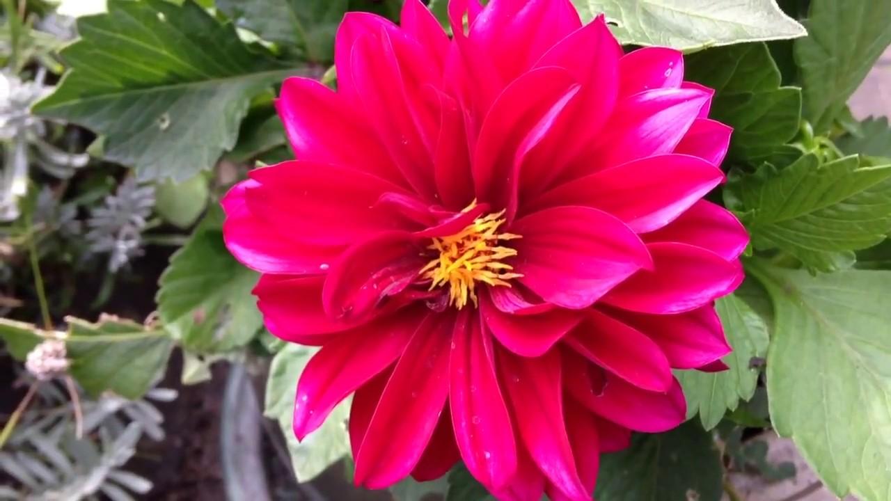Dark pink dwarf dahlia flowers in garden dahlias gardening dark pink dwarf dahlia flowers in garden dahlias gardening worldgardeners izmirmasajfo