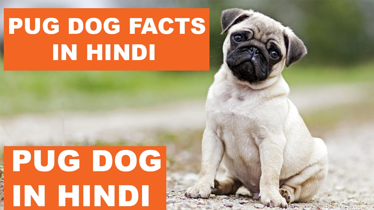Pug Dog Facts In Hindi Dog Facts Popular Dogs The Ultimate