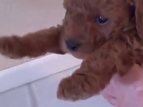 Red mini poodle puppies