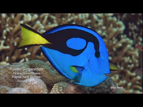Palette Surgeonfish (Paracanthurus Hepatus), PNG 2008