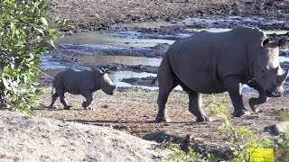Cute Baby Rhino Scared By Buffalo Herd