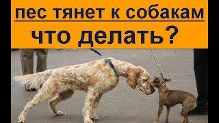 пес тянет к другим собакам что делать