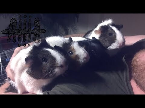 ☯MY GUINEA PIGS MULTIPLIED! Pet Guide☯